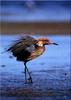 [Birds of North America] Reddish Egret