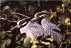 [Birds of North America] Yellow-Crowned Night Heron (Nyctanassa violacea)
