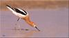 [Birds of North America] American Avocet
