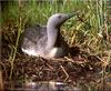 [Birds of North America] Red-throated Loon
