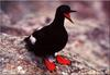 [Birds of North America] Pigeon Guillemot (Cepphus columba)