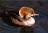[Birds of North America] Hooded Merganser Hen