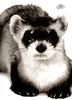 [WYscan CSA Witness] Black-footed Ferret