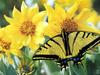 [Treasures of American Wildlife 2000-2001] Tiger Swallowtail Butterfly