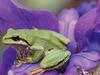 [Treasures of American Wildlife 2000-2001] Green Tree Frog