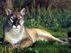 [Treasures of American Wildlife 2000-2001] Florida Panther