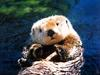 [Treasures of American Wildlife 2000-2001] Sea Otter
