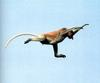 [NG Paraisos Olvidados] Proboscis Monkey (Long-nosed Monkey) leaping