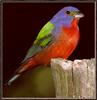 [Sj scans - Critteria 1] Painted Bunting