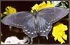 [Sj scans - Critteria 3]  Pipevine Swallowtail Butterfly