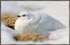 [Sj scans - Critteria 3] White-tailed Ptarmigan