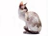 [JLM scans - Cat Breed] Cornish Rex Parti-Color Point