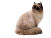 [JLM scans - Cat Breed] Himalayan Seal Point
