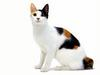 [JLM scans - Cat Breed] Japanese Bobtail Tortoiseshell and white