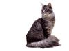 [JLM scans - Cat Breed] Maine Coon Silver Mackerel Tabby