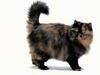 [JLM scans - Cat Breed] Persian Tortoiseshell