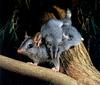 CPerrien scan] Australian Native Animals 2002 Calendar (AG): Brush-tailed Phascogale