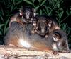 CPerrien scan] Australian Native Animals 2002 Calendar (AG): Common Ringtail Possum