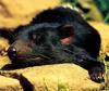 CPerrien scan] Australian Native Animals 2002 Calendar (AG): Tasmanian Devil