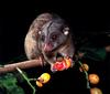 CPerrien scan] Australian Native Animals 2002 Calendar (AG): Southern Common Cuscus