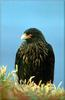 [PhoenixRising Scans - Jungle Book] Striated Caracara