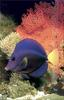 [PhoenixRising Scans - Jungle Book] Purple Tang (Zebrasoma xanthurum)
