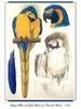 [Ollie Scan] Study of Blue and Gold Macaw and Caninde Macaw (1984)