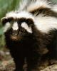 Zorilla, Striped Polecat (Ictonyx striatus)
