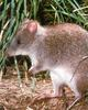 Long-footed Potoroo (Potorous longipes)