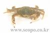 민꽃게 Charybdis japonica (Swimming Crab)