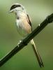 긴꼬리때까치 Lanius schach (Long-tailed Shrike)