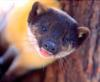 대륙목도리담비 [大陸-, Manchurian yellow-necked marten]