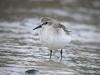좀도요 [red-necked stint]
