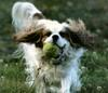 Dog - Cavalier King Charles Spaniel (Canis lupus familiaris)