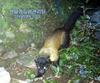 노란목도리담비 Martes flavigula koreana (Korean Yellow-throated Marten)