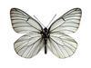 상제나비 Aporia crataegi (Black-veined White Butterfly)