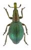 Apion artemisiae (Weevil from Russia)
