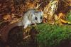 Fat Dormouse (Myoxus glis)