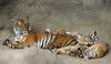 indo chinese tiger mom and cubs1 9-20