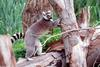 Ring Tailed Lemur (Lemur catta)0001