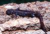 Blue-spotted Salamander (Ambystoma laterale)0002