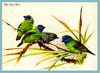 [Eric Shepherd] Blue-faced Parrot-finch (Erythrura trichroa)