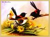[Eric Shepherd] Red-backed Wren (Malurus melanocephalus)