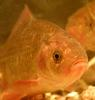 The mystery of the curious Crucian carp [EurekAlert 2004-10-01]