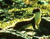 Long-tailed Weasel (Mustela frenata)  - Wiki