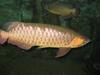 Red-tailed Golden Arowana (Scleropages aureus) - Wiki
