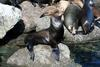 California Sea Lion (Zalophus californianus) - Wiki