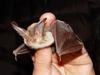 Brown Long-eared Bat (Plecotus auritus) - Wiki