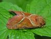 Orange Swift (Triodia sylvina) - Wiki