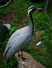 Demoiselle Crane (Anthropoides virgo) - Wiki